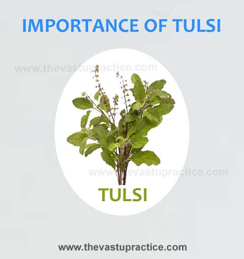 Vastu Tips for Tulsi Plants and The Importance Of Tulsi - The Vastu Practice